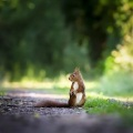 squirrel-4515962__480