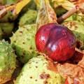 Rosskastanie Frucht